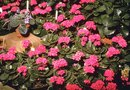 How to Care for a Kalanchoe Blossfeldiana Plant