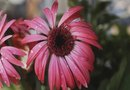 How Long for Echinacea to Bloom From Seed?