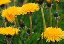 How to Plant Dandelions