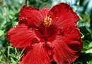 How to Germinate Perennial Hibiscus