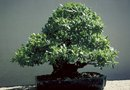 How to Rescue a Dying Bonsai Tree