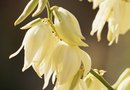 How to Control the Growth of Yucca
