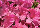 Which Azalea Plants are for Indoors and Outdoors?