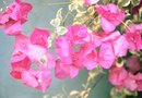 How to Care for a Bougainvillea in a Pot