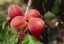 How to Identify Peach Tree Problems