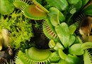 How to Plant a Venus Fly Trap in a Dome