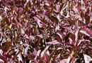 Purple Leaf Plants