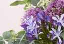 How to Plant Companion Plants With Dwarf Agapanthus