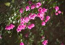 How to Get Cuttings From a Bougainvillea Plant