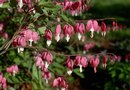 How to Plant Bleeding Heart Flowers in a Container