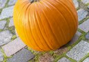 How to Grow Pumpkins in Pantyhose