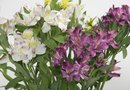 How to Grow Peruvian Lilies From an Existing Plant