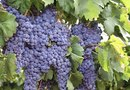How to Get Grape Vines to Fruit
