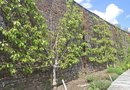 How to Espalier Cherry Trees