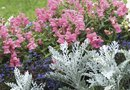 Dusty Miller Plants & Drought Resistance