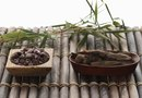 How to Replant Bamboo Plants
