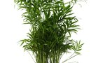How to Start Spider Plant Shoots