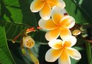 How to Branch Plumeria