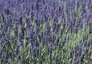 How to Trim Back a Large Lavender Plant