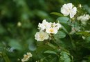 When to Prune Rosa Rugosa?
