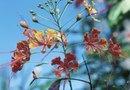 The Propagation of the Dwarf Poinciana Tree