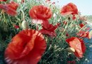 How to Identify Papaver Rhoeas L