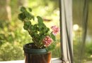 How to Dead Head Geraniums