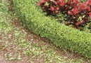 How to Plant Boxwood Shrubs Around a House