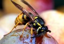 The Best Chemical to Control Yellow Jackets