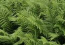 The Advantages of Ferns