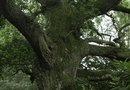 How to Kill Oak Tree Roots Without Chemicals