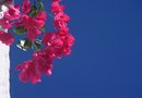 Difference Between Mandevilla & Bougainvillea
