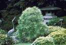 Can I Transplant a Japanese Boxwood in the Summer?