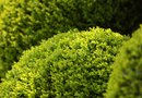 How to Plant a Green Mountain Boxwood Near a Yew Stump