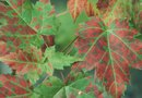 Leaf Spots on Amur Maple