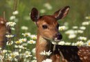 Deer Resistant Annuals and Perennials