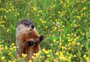 How to Stop Groundhogs From Coming Back