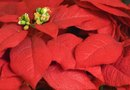 Fungal Diseases of Poinsettias