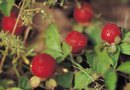 Ideal Growing Conditions for Raspberry Plants