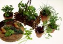 Good Herb & Vegetable Plants for Indoor Gardens