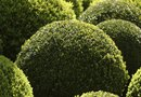 How to Make a Bush Shaped as a Ball With Trimming