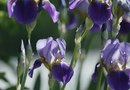 The Best Time to Separate Iris Bulbs