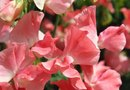 How to Trim Back a Sweet Pea Vine