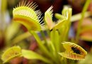 Can a Venus Flytrap Be Split Into Two Plants?