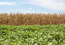 How Shade Tolerant Are Soybeans?