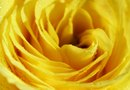 Information on Yellow Blaze Climbing Roses