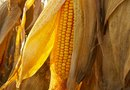 The Requirements and Yields for Planting Sweet Corn