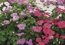 How to Care for Double Impatiens Flowers