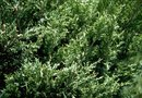 White Spots on an Evergreen Bush