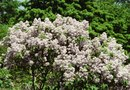 Miniature White Lilac Bushes